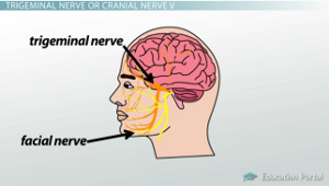 trigeminal nerve diagram switch outlet combo wiring cranial nerves of the face and mouth motion sensation