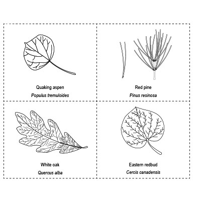 Create a dichotomous key that identifies the 10 leaves on