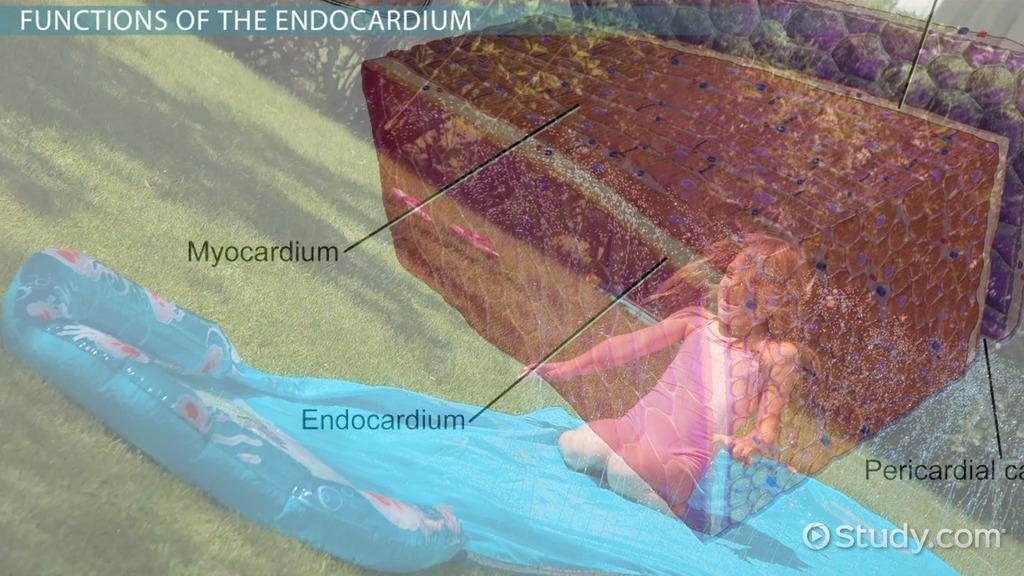Endocardium Definition Amp Function
