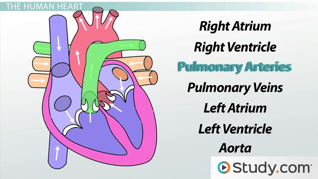 Circulatory System III The Heart Video & Lesson Transcript