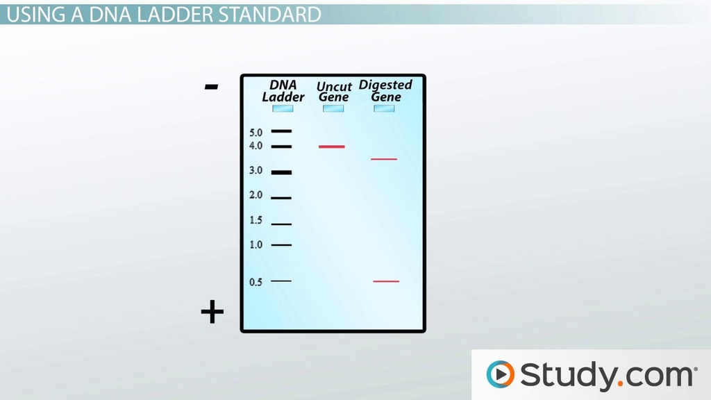 dna fingerprinting diagram wiring onan p220 agarose gel electrophoresis: results analysis - video & lesson transcript   study.com