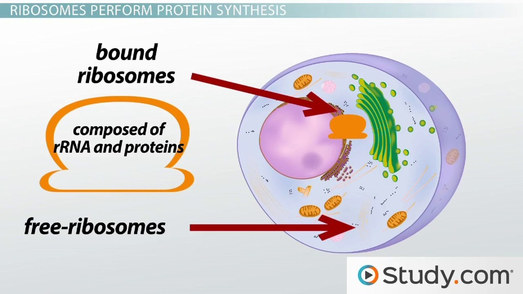 simple easy plant cell diagram animal 1992 toyota hilux surf wiring the ribosome: structure, function and location - video & lesson transcript   study.com