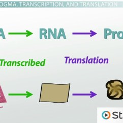 Simple Diagram Of Dna Replication 2007 Kenworth W900 Radio Wiring Protein Synthesis In The Cell And Central Dogma - Video & Lesson Transcript | Study.com