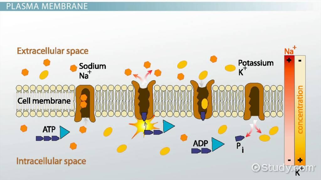 Membrane Potential Definition Equation Amp Calculation