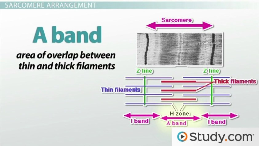 The Sarcomere and Sliding Filaments in Muscular ...