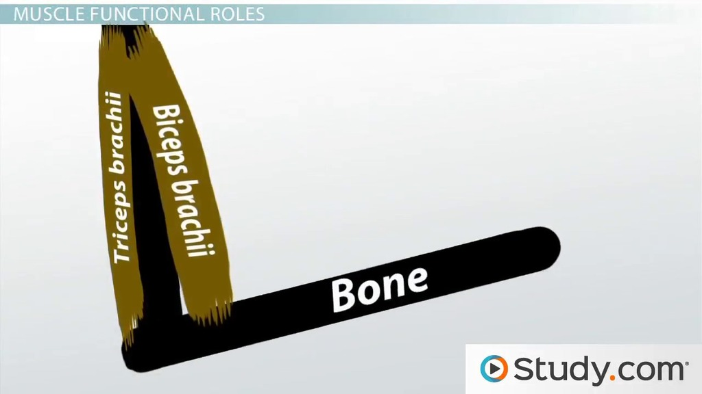 names of bones in human skeleton diagram 2000 mitsubishi eclipse engine muscle origin and insertion: definition actions - video & lesson transcript | study.com