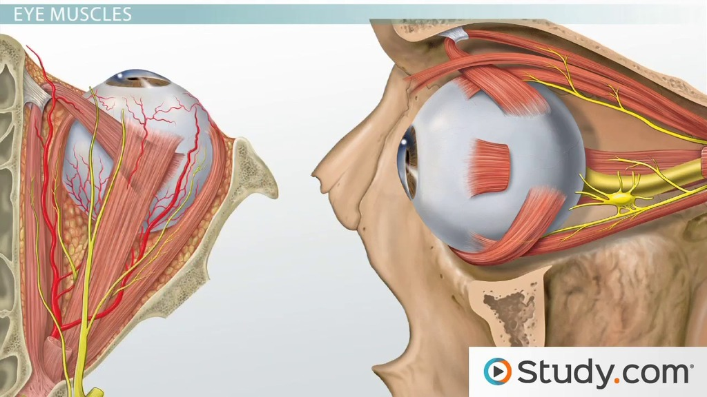 eye diagram of chicken mono wiring muscles the head and neck: anatomy, motion & support - video lesson transcript   study.com