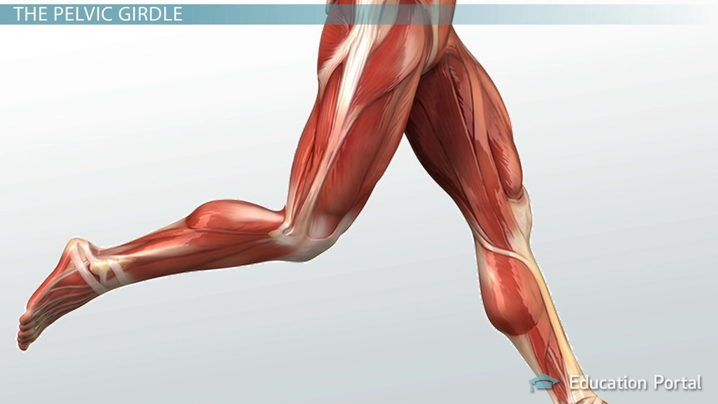 Muscular Function And Anatomy Of The Upper Leg Video