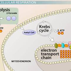 Photosynthesis And Cellular Respiration Diagram Roller Shutter Door Motor Wiring Pyruvate In - Video & Lesson Transcript | Study.com