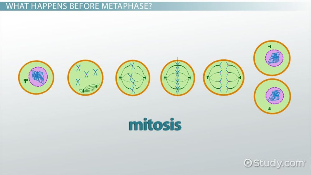 medium resolution of cell metaphase definition explanation