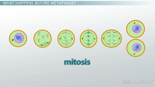 small resolution of cell metaphase definition explanation