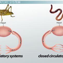 3 Chambered Heart Diagram Nitrous Kit Wiring Closed Circulatory System: Definition & Advantage - Video Lesson Transcript | Study.com