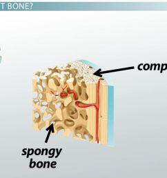 compact bone definition structure function [ 1280 x 720 Pixel ]