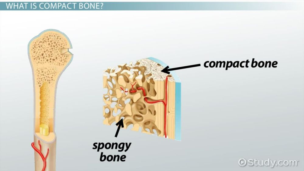 medium resolution of compact bone definition structure function