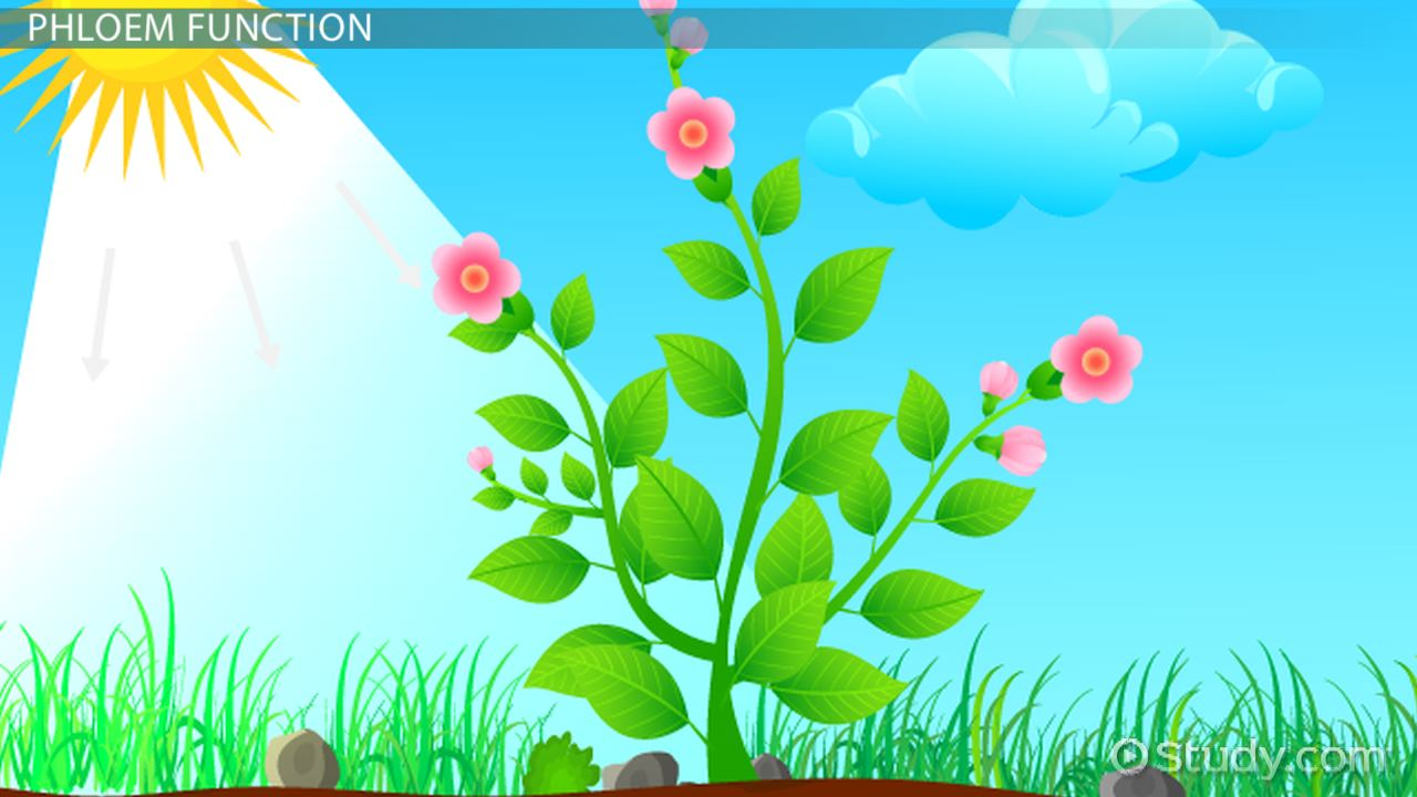 hight resolution of companion cells in plants function concept