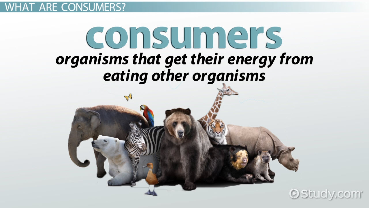 Ecology Consumer Definition & Explanation Video