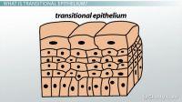 Transitional Epithelium Gallery