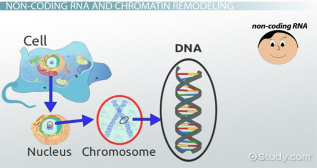 How Non Coding RNA Remodels Chromatin Video & Lesson