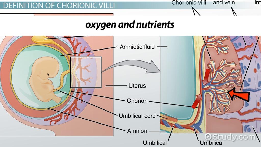 What Is Chorionic Villi? - Sampling & Definition - Video & Lesson Transcript | Study.com