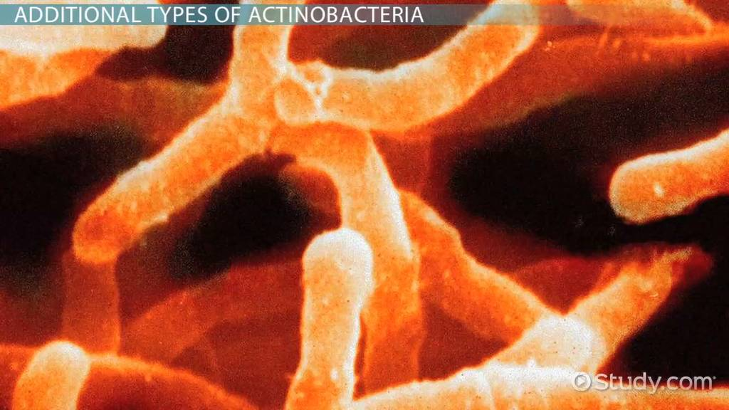 Actinobacteria Definition & Characteristics Video