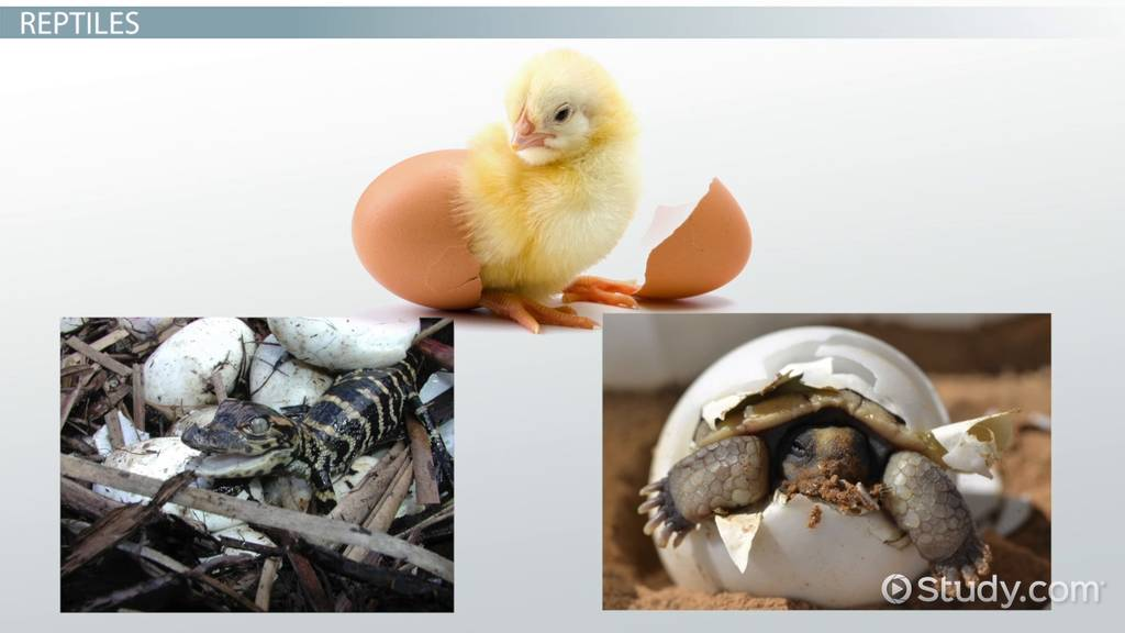 Animals that Hatch from Eggs Lesson for Kids  Video  Lesson Transcript  Studycom