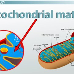 Mitochondrion Structure Diagram Lg 1 5 Ton Split Ac Wiring Mitochondrial Matrix Definition Function Video Lesson