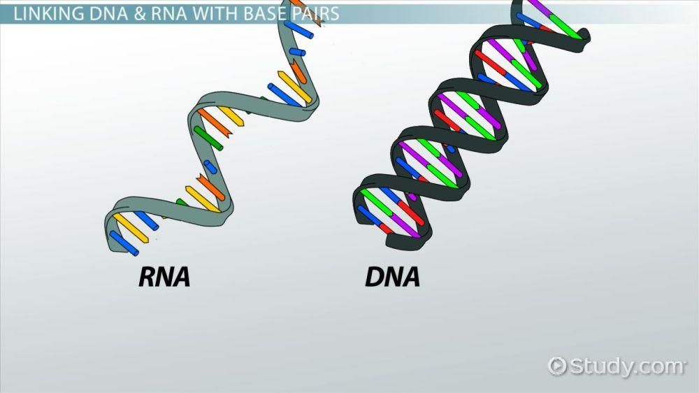 medium resolution of nitrogenous base definition pairs video lesson transcript study com