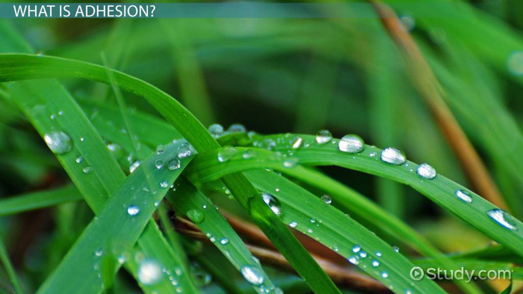 Adhesion of Water Definition  Example  Video  Lesson Transcript  Studycom
