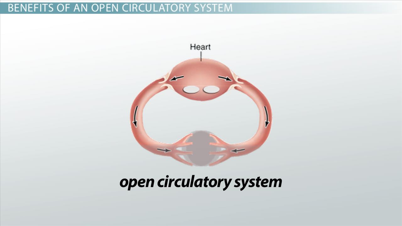 Open Circulatory Systems Definition & Examples Video