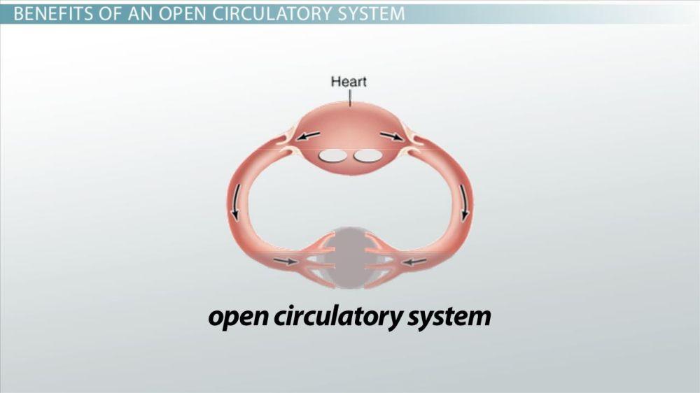 medium resolution of Open Circulatory Systems: Definition \u0026 Examples - Video \u0026 Lesson Transcript    Study.com