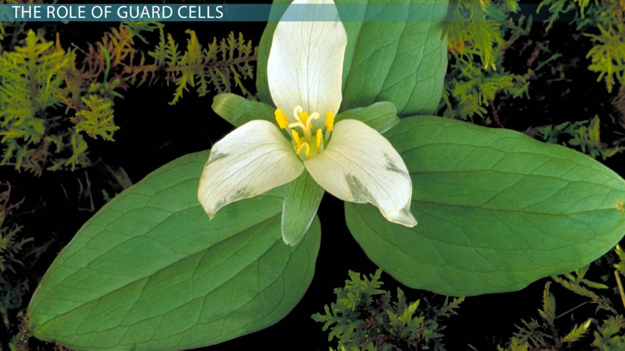 hight resolution of plant guard cells function definition