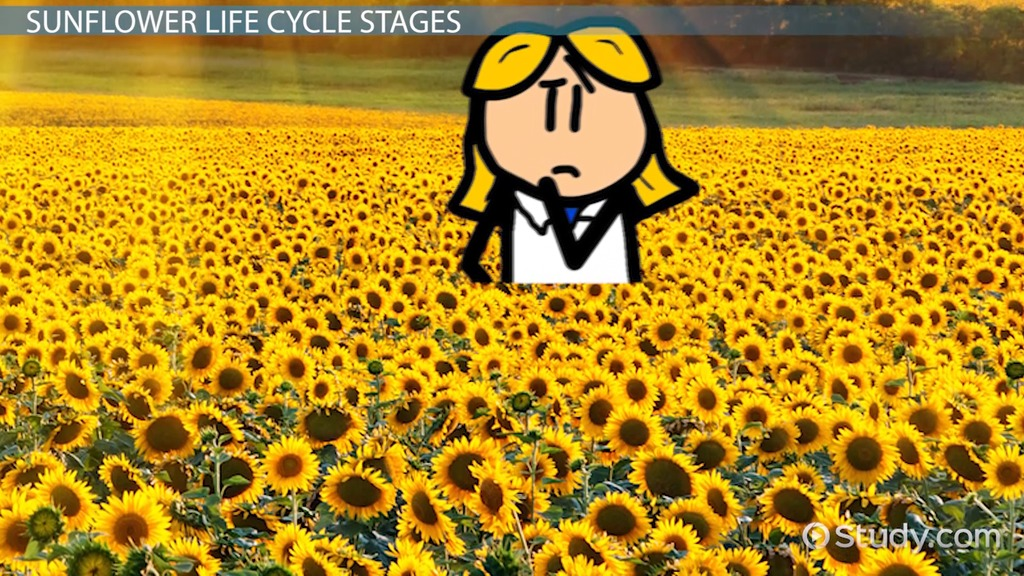 Sunflower Lesson For Kids Facts & Life Cycle Video & Lesson