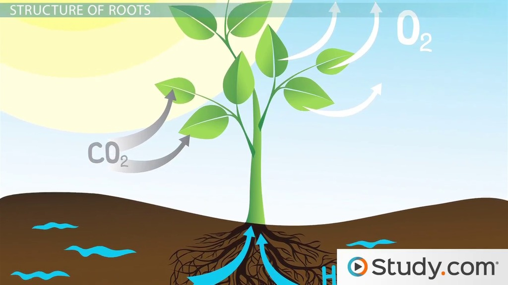draw a diagram of photosynthesis american standard wiring roots & stems: structure function - video lesson transcript | study.com