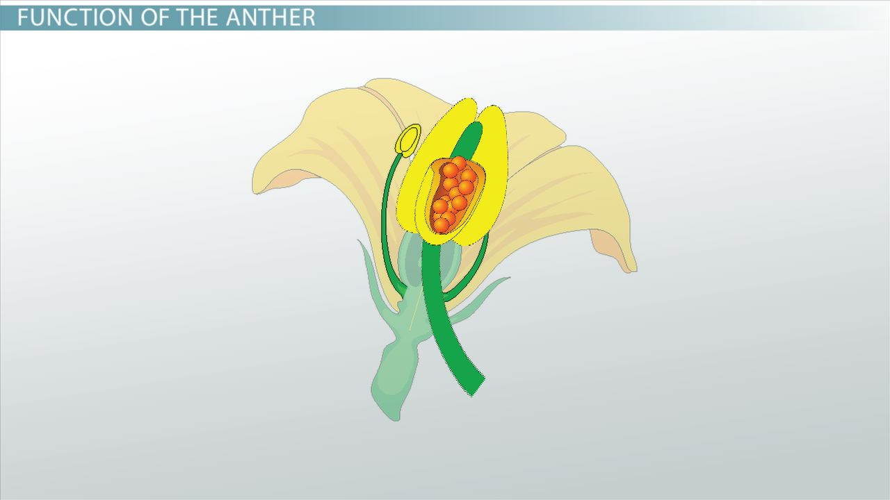 Anther of a Flower Function  Definition  Video  Lesson Transcript  Studycom
