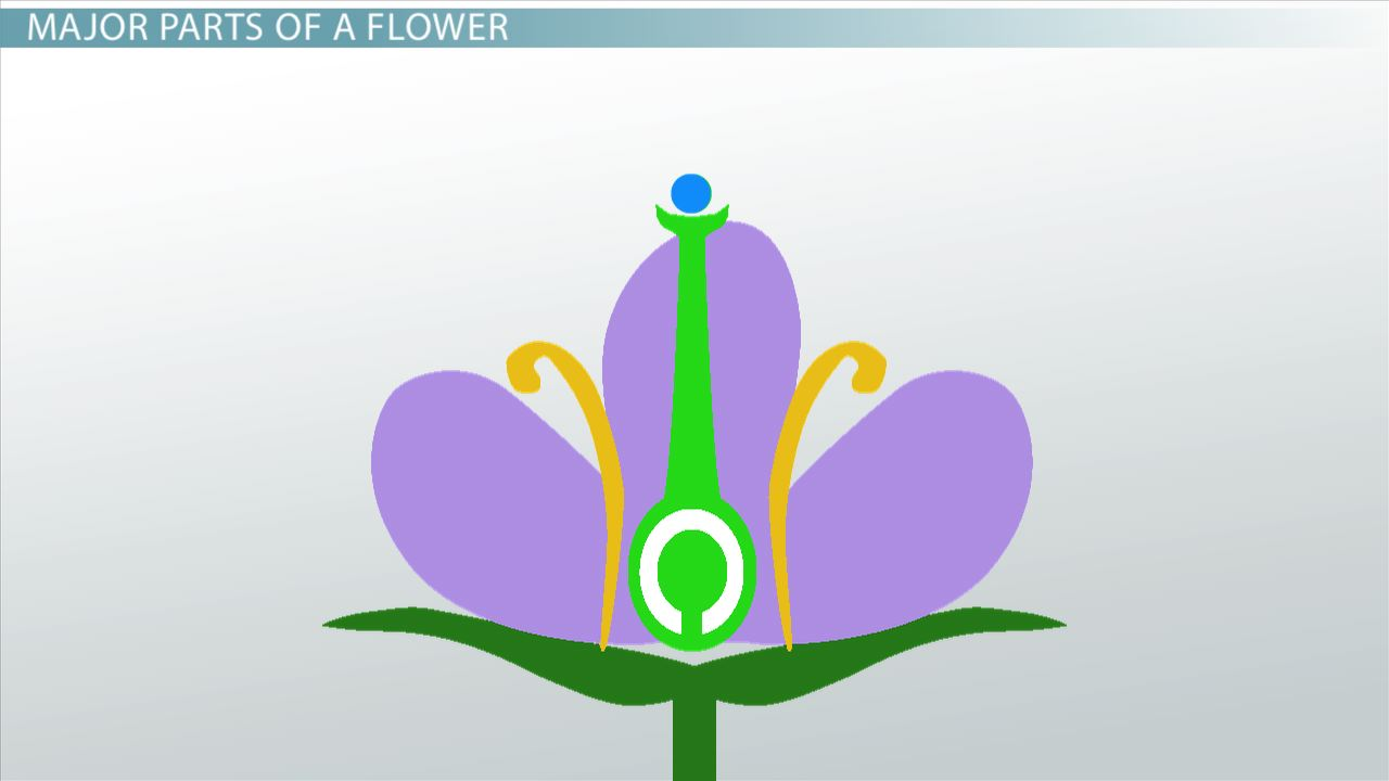 hight resolution of ovary of a flower function definition