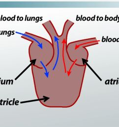 three chambered heart definition anatomy video lesson transcript study com [ 1280 x 720 Pixel ]