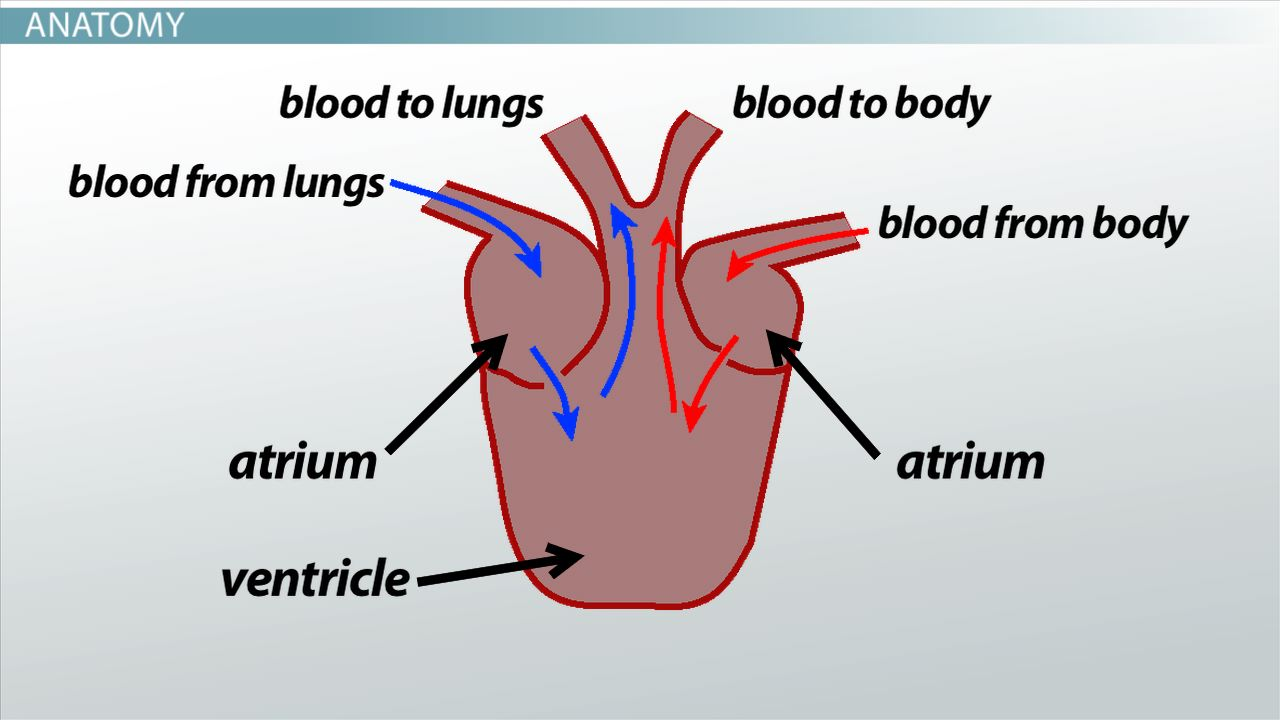 hight resolution of three chambered heart definition anatomy video lesson transcript study com