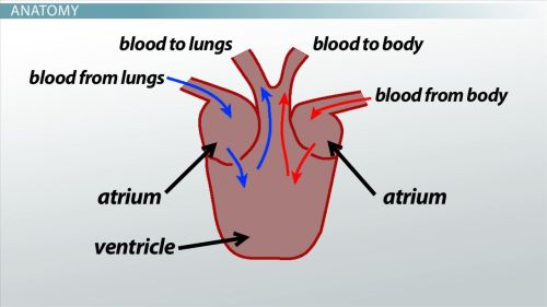 small resolution of three chambered heart definition anatomy video lesson transcript study com