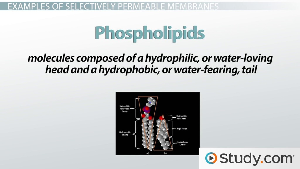 Selectively Permeable Membranes Definition & Examples