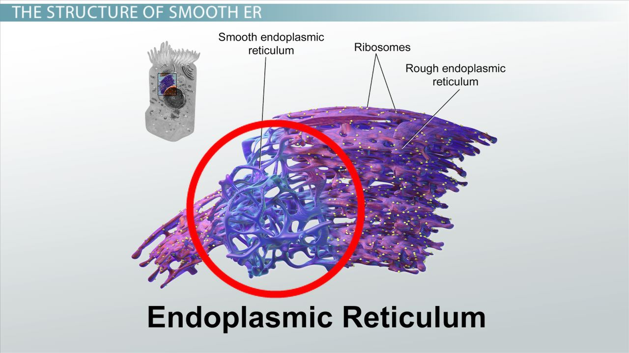 endoplasmic reticulum animal cell diagram stellaluna venn smooth er: definition, functions & structure - video lesson transcript | study.com