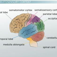 Simple Eye Diagram To Label 2003 Vw Jetta Monsoon Wiring Somatosensory Cortex: Definition, Location & Function - Video Lesson Transcript | Study.com
