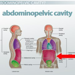 Diagram Of The Four Quadrants 1999 Kenworth W900 Ac Wiring Abdominopelvic Cavity Bony Landmarks Organs And Regions