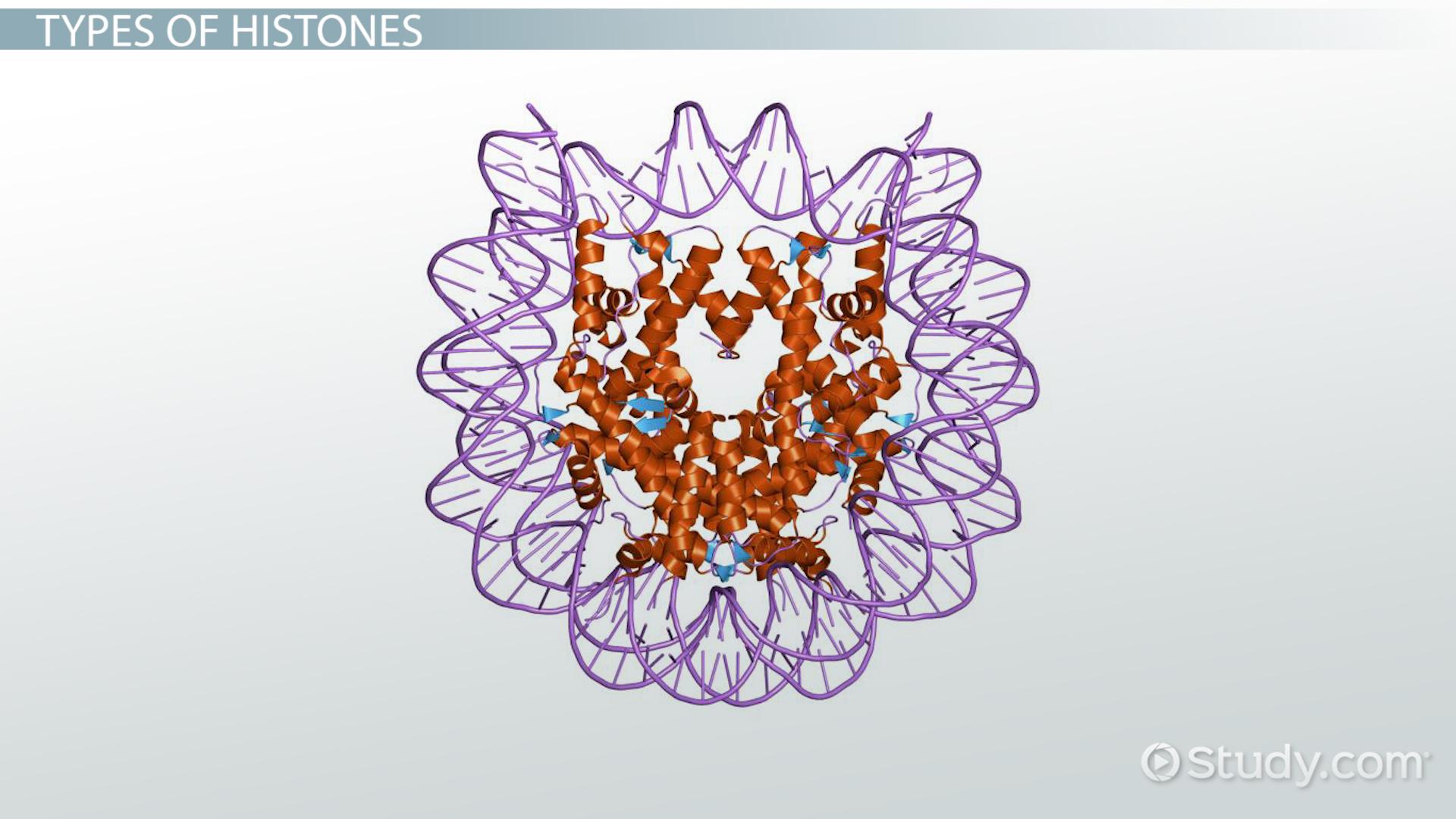 Histones Function  Types  Video  Lesson Transcript