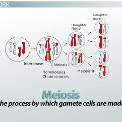 6 Chromosomes Crossing Over Diagram 7 Pin Round Semi Trailer Wiring Genetic Definition And Concept Video