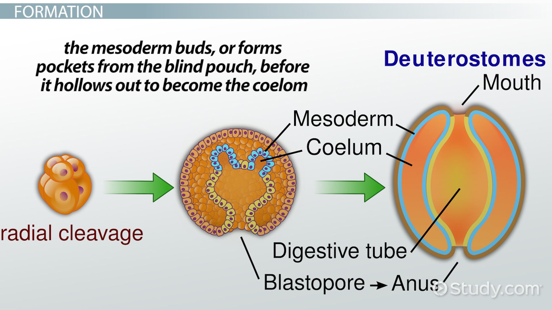 explain the process of nutrition in amoeba with diagram 2002 ford explorer cd player wiring coelom definition formation and function video lesson