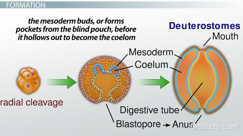 medium resolution of coelom definition formation function video lesson transcript study com