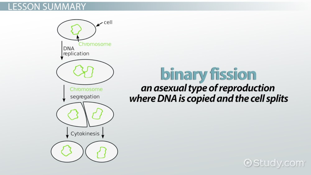 medium resolution of binary fission definition steps examples video lesson transcript study com