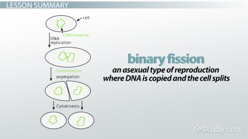 small resolution of binary fission definition steps examples video lesson transcript study com