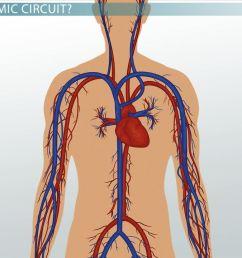 systemic circuit definition blood flow video lesson transcript study com [ 1280 x 720 Pixel ]