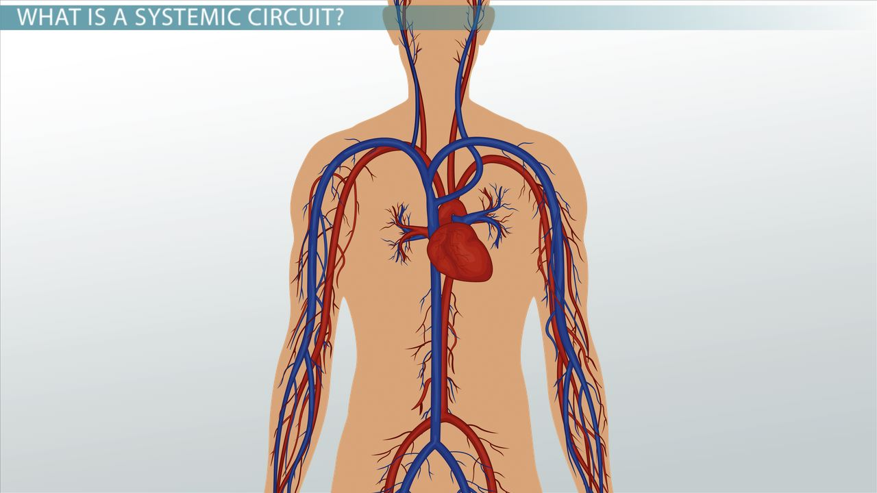 hight resolution of systemic circuit definition blood flow video lesson transcript study com